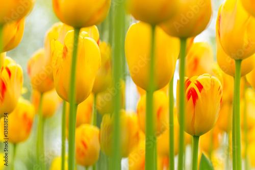 Zdjęcia na płótnie, fototapety na wymiar, obrazy na ścianę : Beautiful view of colored tulips.