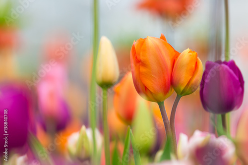Beautiful view of colored tulips.