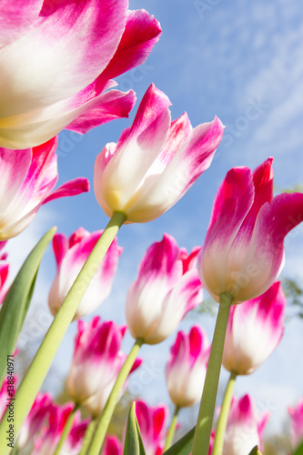 Fototapety, obrazy : Beautiful view of colored tulips.