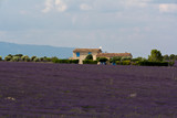 lavender field and house  in plateau de valensole , Provence, France