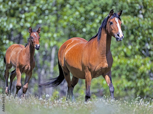 Bay Arabian Mare and Foal running together in meadow