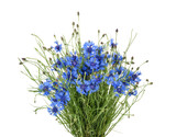 Cornflowers isolated on white without shadow