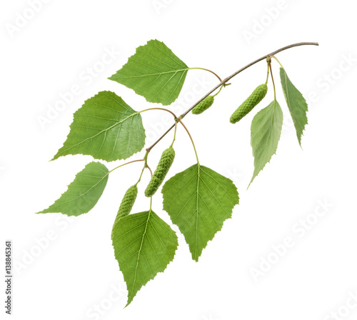 Birch leaves isolated. without shadow - 138845361