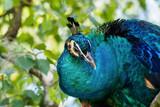 blauer Pfau - Pavo cristatus
