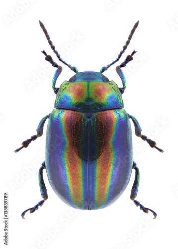Beetle Chrysolina coerulans angelica on a white background Poster