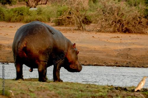Fotobehang hippopotamus in the water