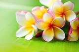 Frangipani flower closeup. Exotic plumeria spa flowers on green leaf tropical background