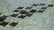 Schooling stingrays