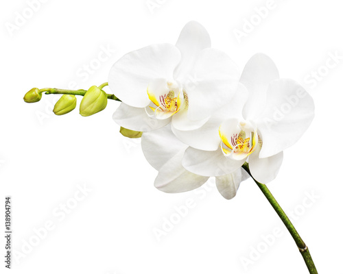 Three day old white orchid isolated on white background. Closeup.