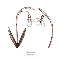 Vector illustration of hand drawn snowdrop flowers on white background. Botanical sketch