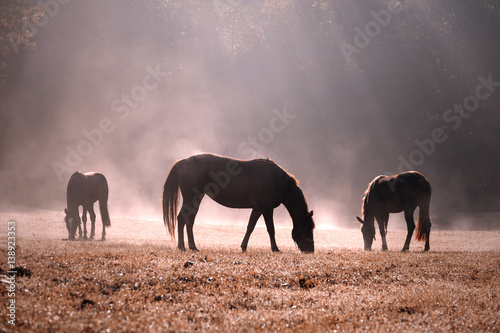 Beautiful morning sunlight in foggy countryside meadow with domestic brown horses.