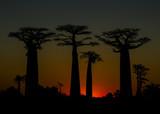 Madagascar Baobab Avenue