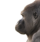 Portrait of a gorilla with white background. Isolated for use in editing - 138951502