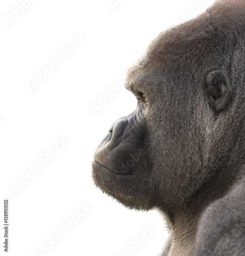 Portrait of a gorilla with white background Poster