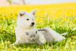 Dog embracing cat on a dandelion field - 138960304