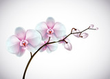 Beautiful three day old white and pink Orchids flowers in branch isolated on background. Orchid flower closeup.