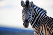 Zebra Straight On Color