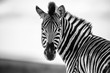 Zebra Straight on Black and White