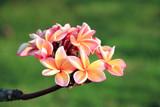 Closeup of plumeria flowers