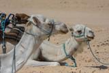 Chillin camels
