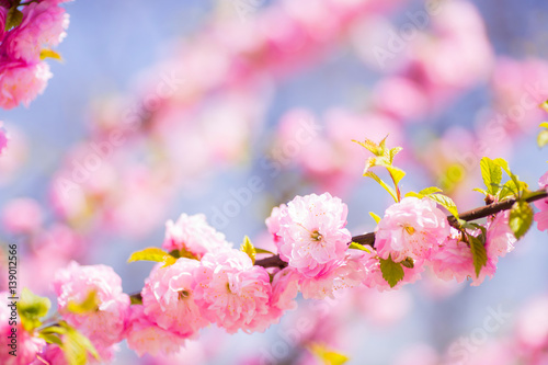 Beautiful blooming spring almond branch