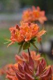 Orange azalea with long stems and green leaves