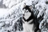 Beautiful dog Siberian husky portrait outdoors