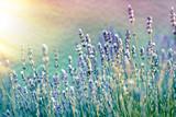 Lavender flower in flower garden