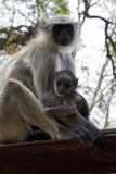 srebrzyste małpy- młode tulące się do matki