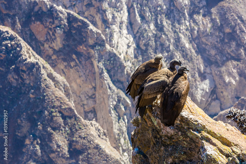 Poster Three Condors at Colca canyon sitting,Peru,South America