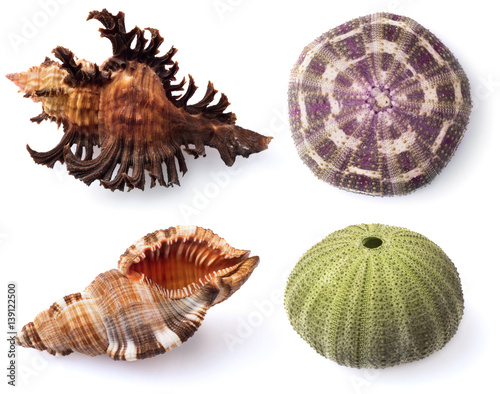 Poster Sea urchins and shells on white background.