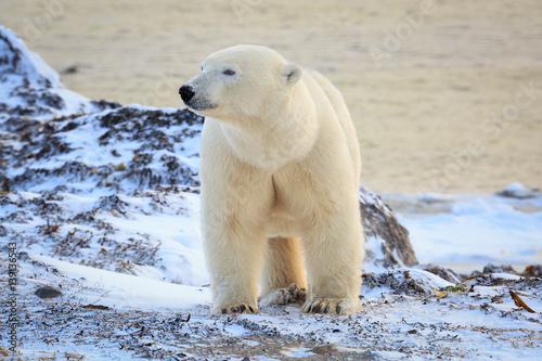 Fotobehang Ijsbeer Polar bear standing on tundra looking aside