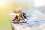 Macro photo bee drinking water. Animals and water.