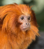 Tamarin lion doré monkey