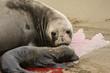 Female elephant seal greats her new born pup at Piedras Blancas rookery, Near San Simeon, CA