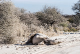 Black (hook-lipped) rhino rolling in the dust in Etosha national park, Namibia