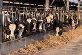Stalla con fila di mucche pezzate allineate che mangiano il fieno