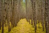 Weg durch einen Föhrenwald