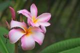 plumeria flower with raindrop