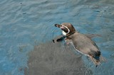 A Tiny Penguin Swimming at the Valencia Oceanarium
