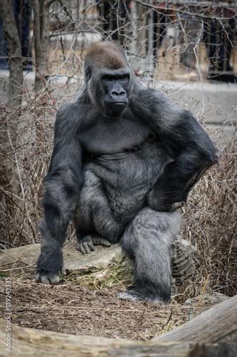Poster Posing Gorilla