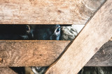 sheep looking into the crack of a wooden fence - 139267314