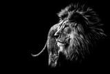 Lew w czerni i bieli