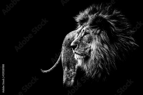 Fotobehang Lion Löwe in schwarz und weiß