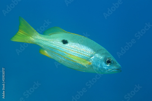 Poster Dory snapper fish