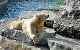 smiling polar bear