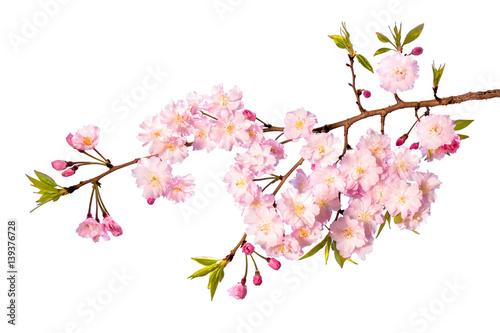 Rosa Kirschblüte vor weißem Hintergrund als Freisteller Poster