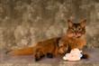 Somali cat portrait