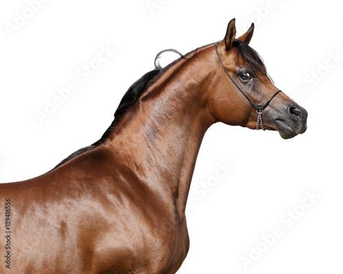 Bay arabian stallion isolated on a white background