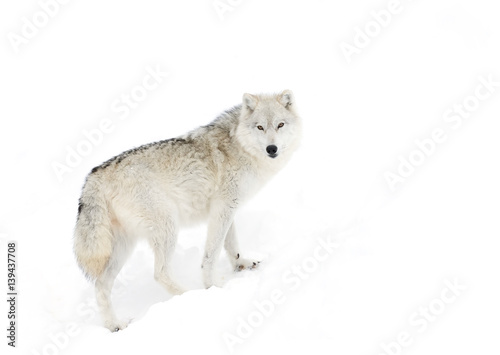 Arctic wolf in the winter snow - 139437708